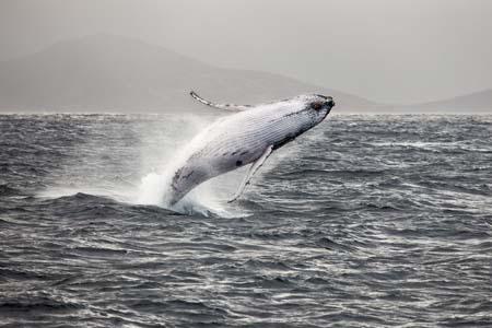 Albany Humpback whale breaching