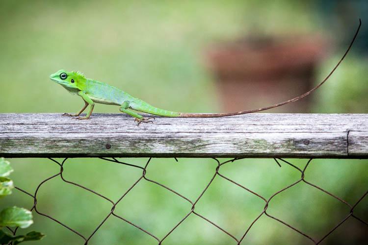 Lizard_20151126_001