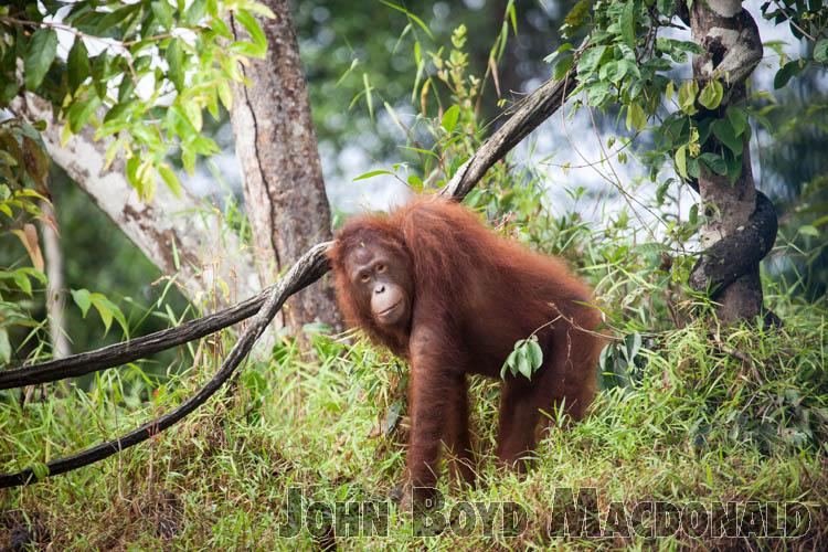 Orangutans_20150801_015