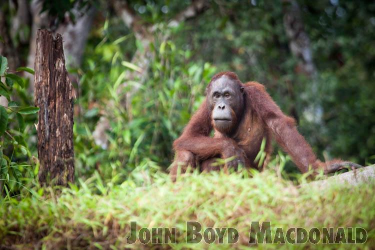 Orangutans_20150801_018