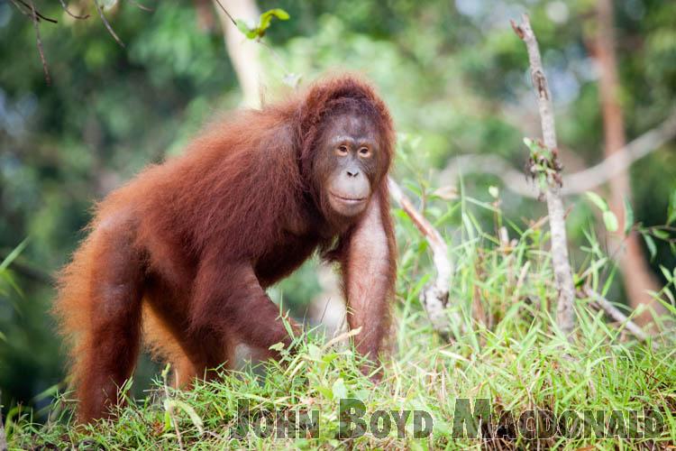 Orangutans_20150801_020