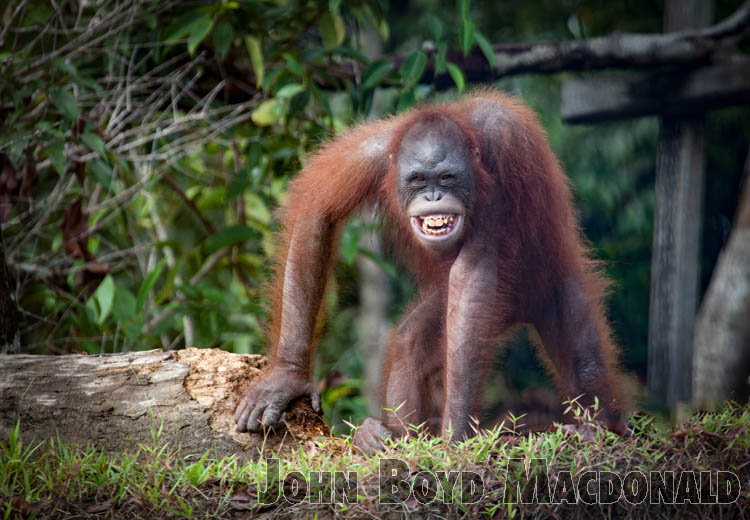 Orangutans_20150801_041