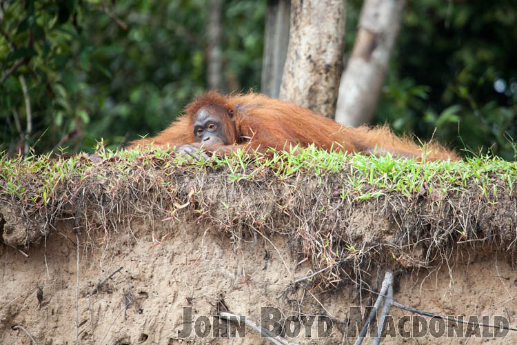 Orangutans_20150801_050