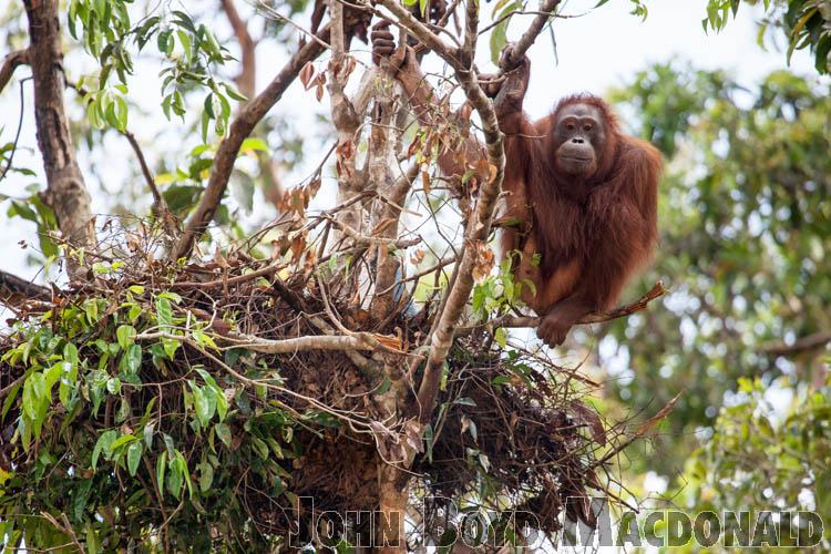 Orangutans_20150801_088