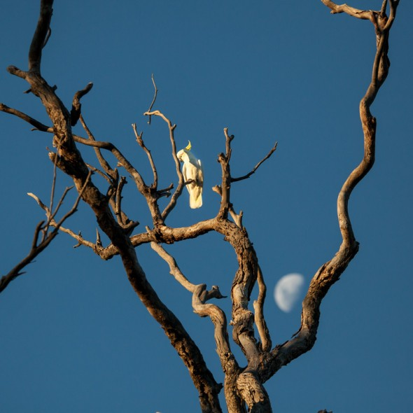 Sulphur-crested White Cockatoo (and the Moon)