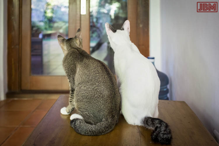 sanur_cats_20160830_029