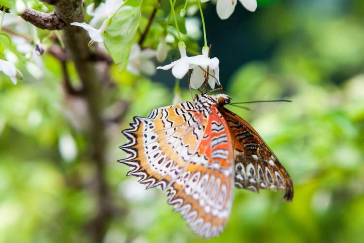 Malay Lacewing (Cethosiahypsea hypsea). Singapore