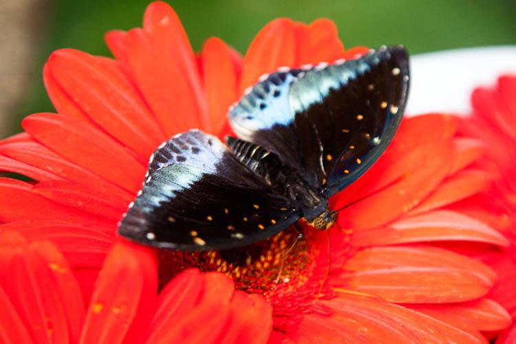 Singapore_butterflies_20151215_049