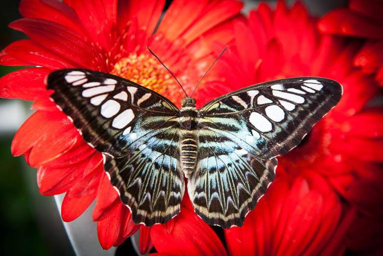 Singapore_butterflies_20151215_055