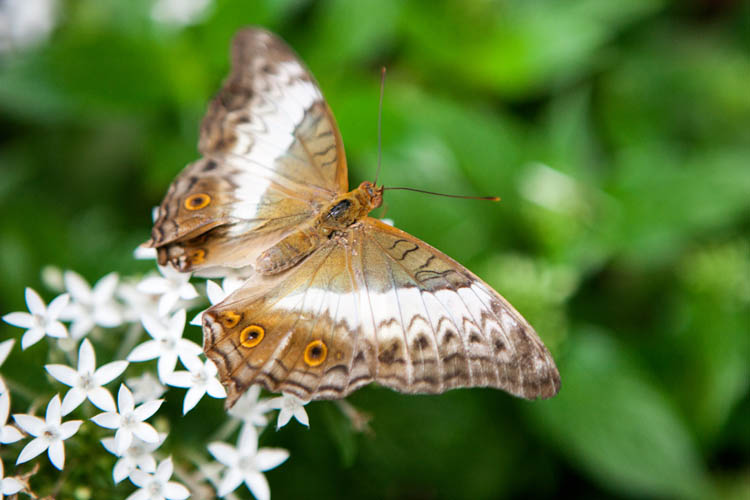 Common Cruiser (female) (Vindula erota), Singapore