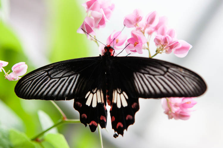 Common Mormon butterfly (Papillo polities romulus). Singapore