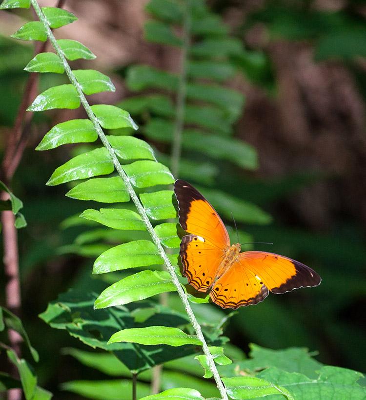 Malay Yeoman (Cirrochroa emalea emalea)
