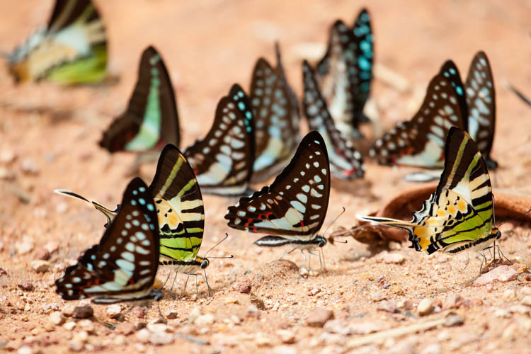 Blue Jay (Graphium evemon eventus), Common Bluebottle (Graphium sarpedon), Five-bar Swordtail (Graphium antiphates)