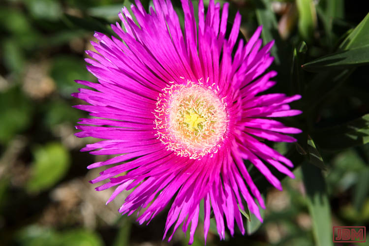 Pigface flower on the beach